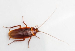 cockroach Pest Control North Brisbane