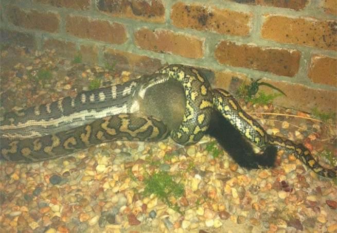 Python eating a possum
