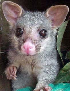 a cute baby possum Pest Control North Brisbane