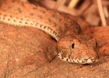 the head of the Kimberley death adder Pest Control North Brisbane