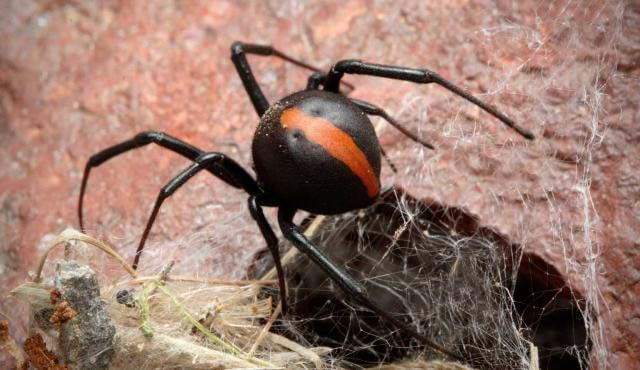 Redback Spider numbers are on the Rise