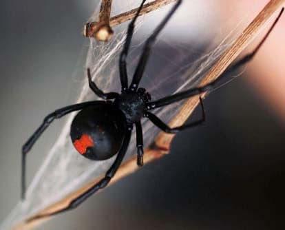 redback spider Pest Control North Brisbane