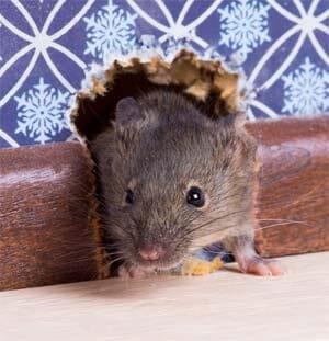 mouse invader Pest Control North Brisbane