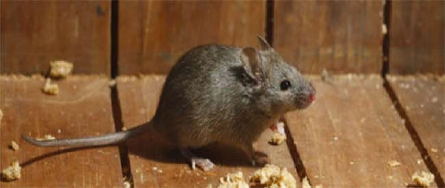 Preventative Steps to Stop Rodent Infestation