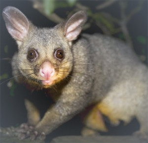 Australian Possum Australia's most common pests