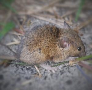 Australian rat