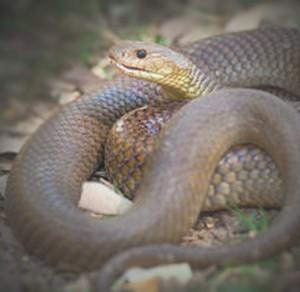 Australian snake Australia's most common pests