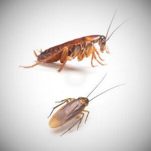 Australian cockroaches Australia's most common pests