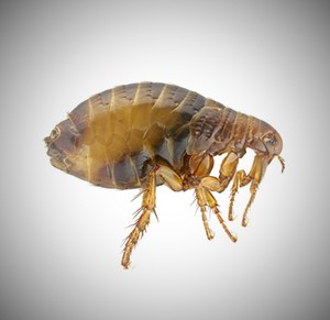 australian flea Australia's most common pests