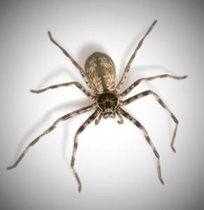 Australian spider. Australia's most common pests