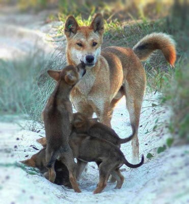 Australian Dingoes