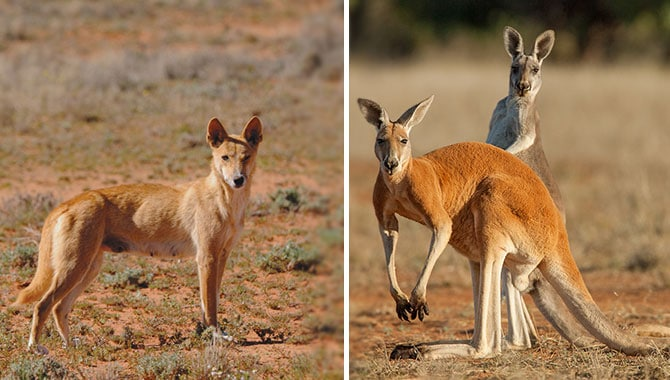 Dingoes and Kangaroos