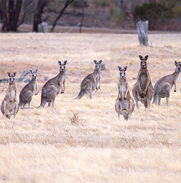 Kangaroo Population Pest Control North Brisbane