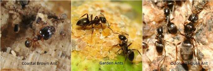 Types of Australian Ants Pest Control North Brisbane