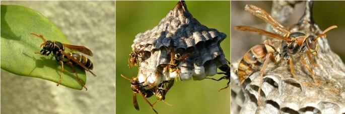 Australian Wasps Pest Control North Brisbane