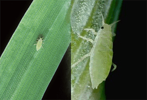 Russian Wheat Aphids