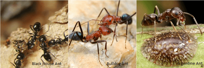 Australian Ants Pest Control North Brisbane