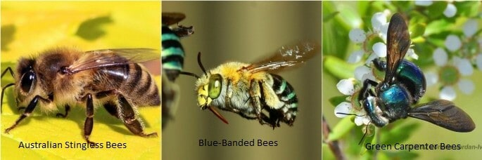 Learn About Australian's Native Bees Species