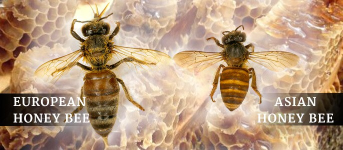 European and Asian Bees Pest Control North Brisbane