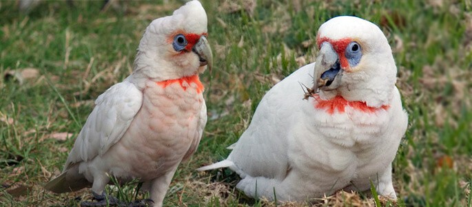 Could Illegal Mice Bait Be The Cause Of Corellas Death?