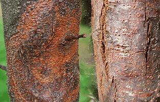 Chestnut Blight Pest Control North Brisbane