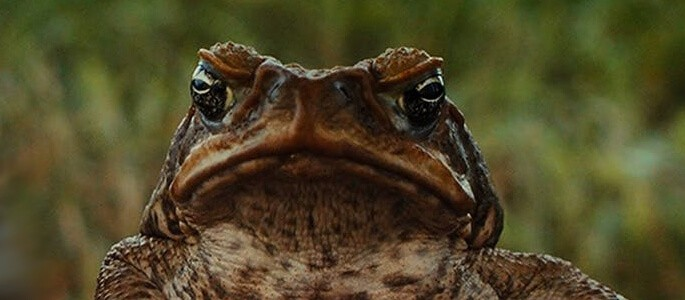 Poisonous Cane Toad Pest Control North Brisbane