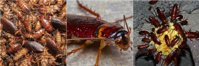 Getting Rid of Roaches Pest Control North Brisbane