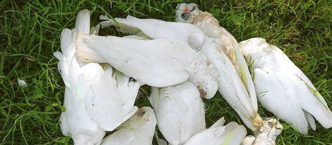 Poisoned Corellas