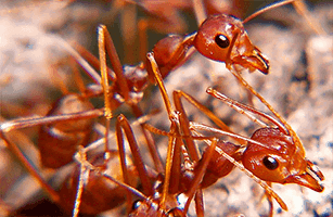 Red Fire Ants