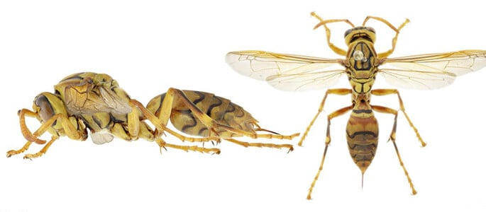 Threat Of Macao Paper Wasps Making Their Way To Australia