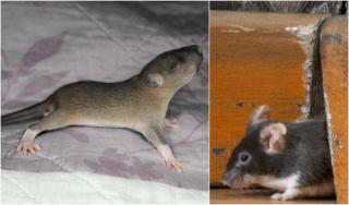 Flexible Rats