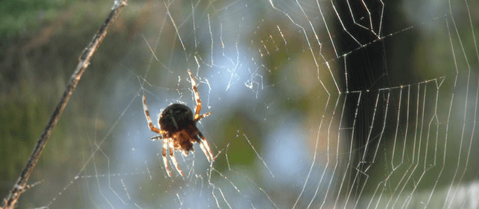 Harmless Spider