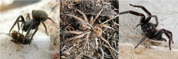 Australian Home Spiders