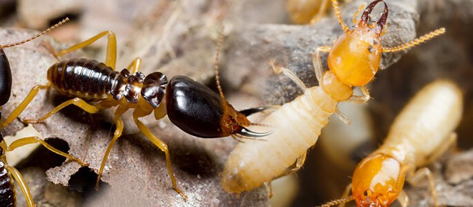 Termites Infestation Pest Control North Brisbane