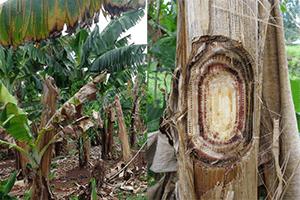 Banana Panama Disease Tropical Race 4 Pest Control North Brisbane