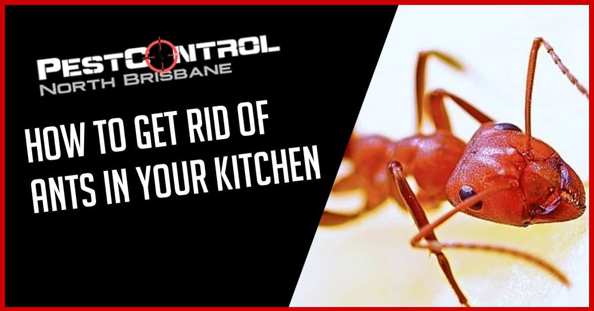 How to Get Rid of Ants in Your Kitchen