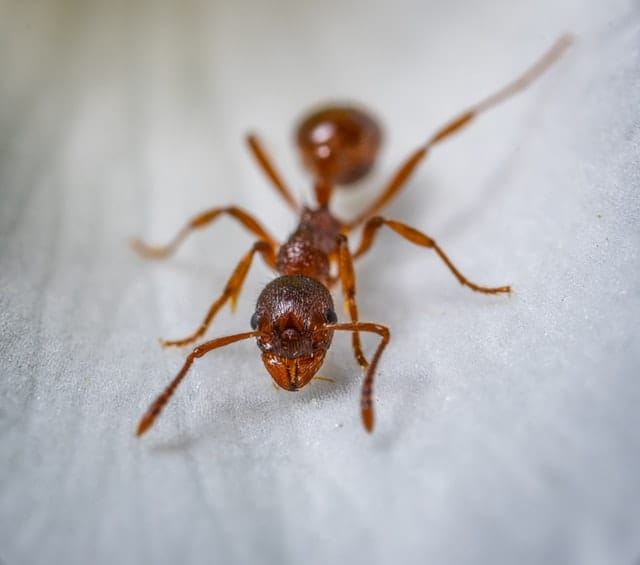 ant color insect Pest Control North Brisbane