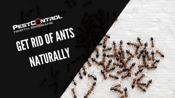 Natural Ways to Remove Ants From Your Home