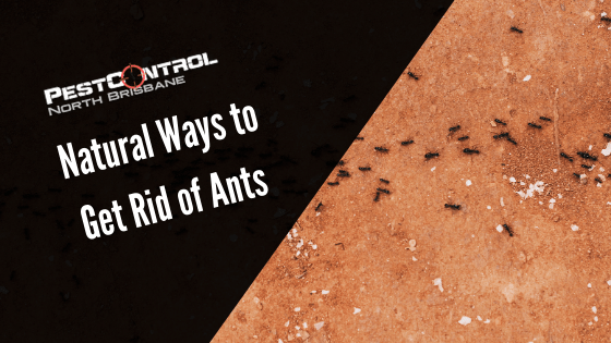 Best Natural Ways to Get Rid of Ants