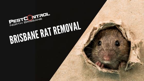 Brisbane Rat Removal