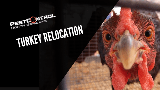 Brisbane Turkey Relocation