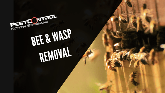 Bee Removal In Brisbane